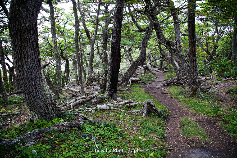 southern beech tree trunks, Tierra del Fuego National Park, Ushuia, Argentina