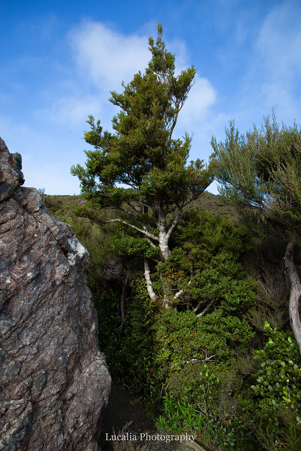 southern beech tree, Rocky Lookout, Mt Holdsworth, Wairarapa, New Zealand