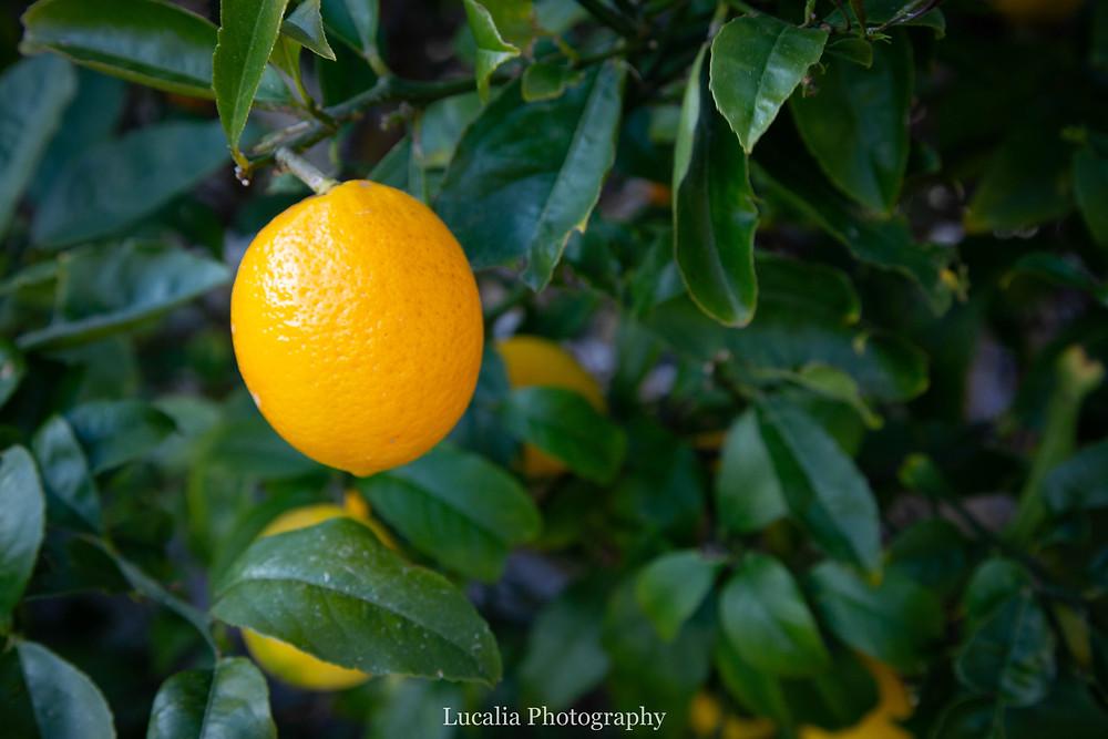 home grown lemon on a tree, Wairarapa