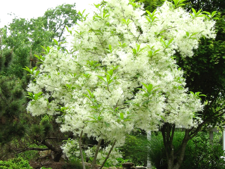 Great Native Trees of the South:  Part 1