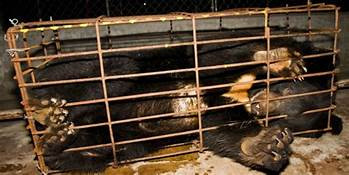 Animals Asia:  Ending the Bear Bile Trade