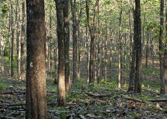 Teak forest at Paridas island. Chiriqui