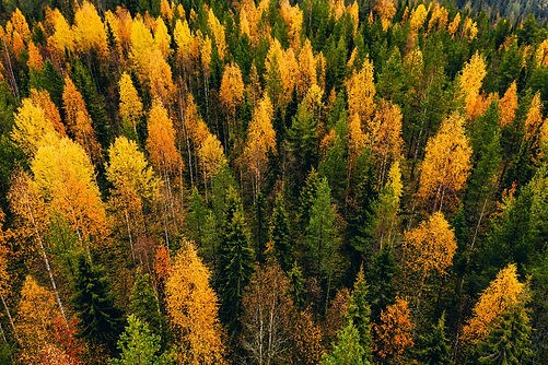 Aerial view of colored forest in autumn in Finland. Beautiful autumn forest with red, oran
