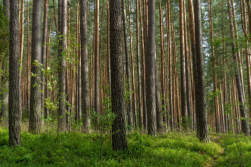 Fascinating ancinet baltic pine tree for