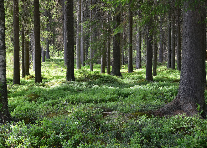 Old spruce wood forest with blueberry bu