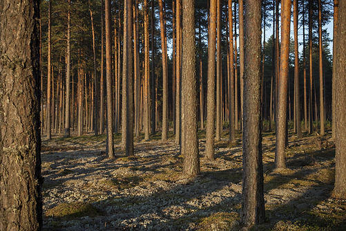 Pine forest in sunsets. Image characteristic for scots pine forests on sandy soils in nort