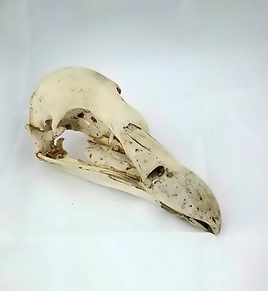 Cráneo de buitre