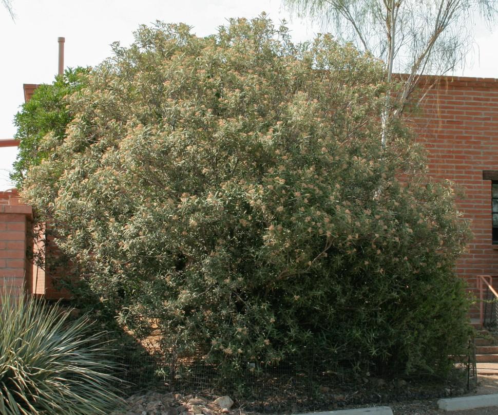 Vauquelinia californica