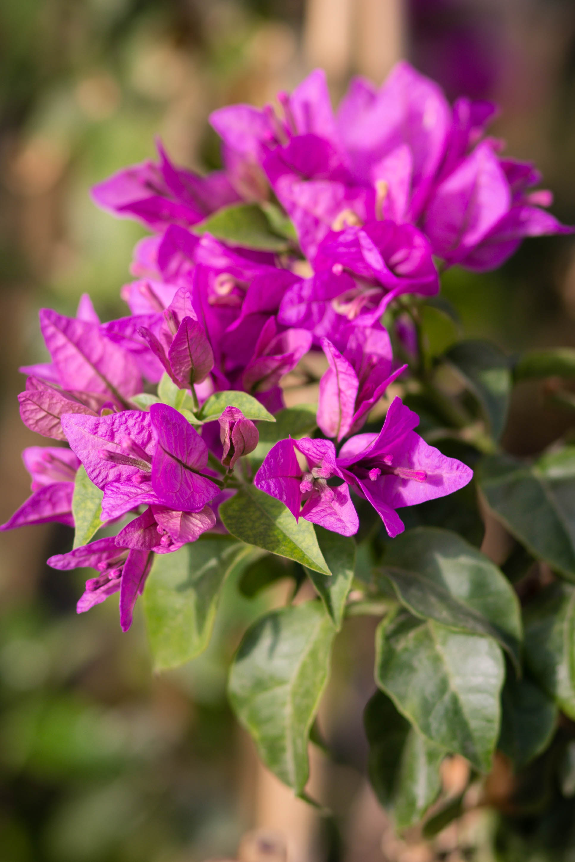 Bougainvillea 'Purple Queen'