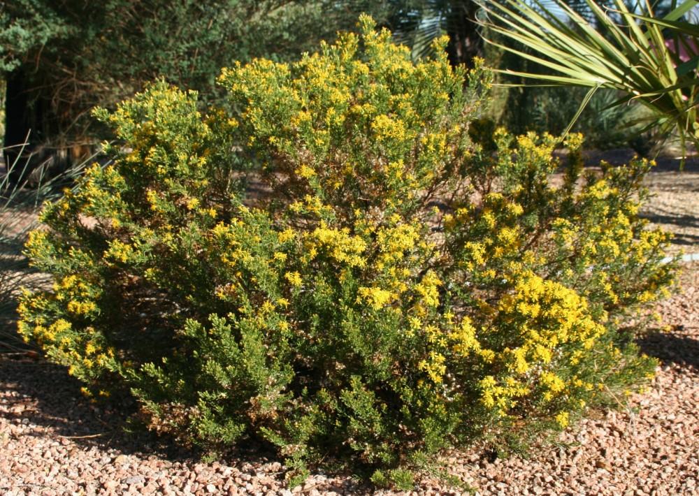 Ericameria laricifolia 'Butterbloom' PPAF