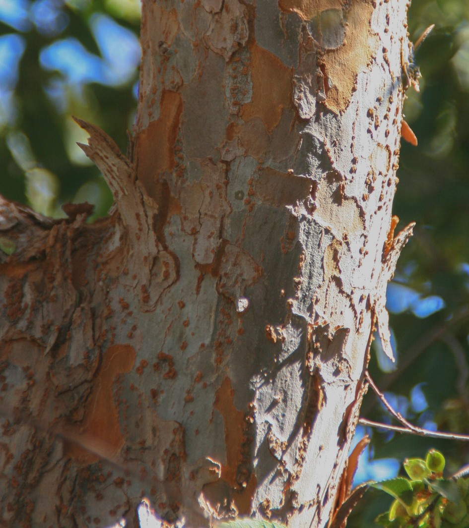 Ulmus parvifolia