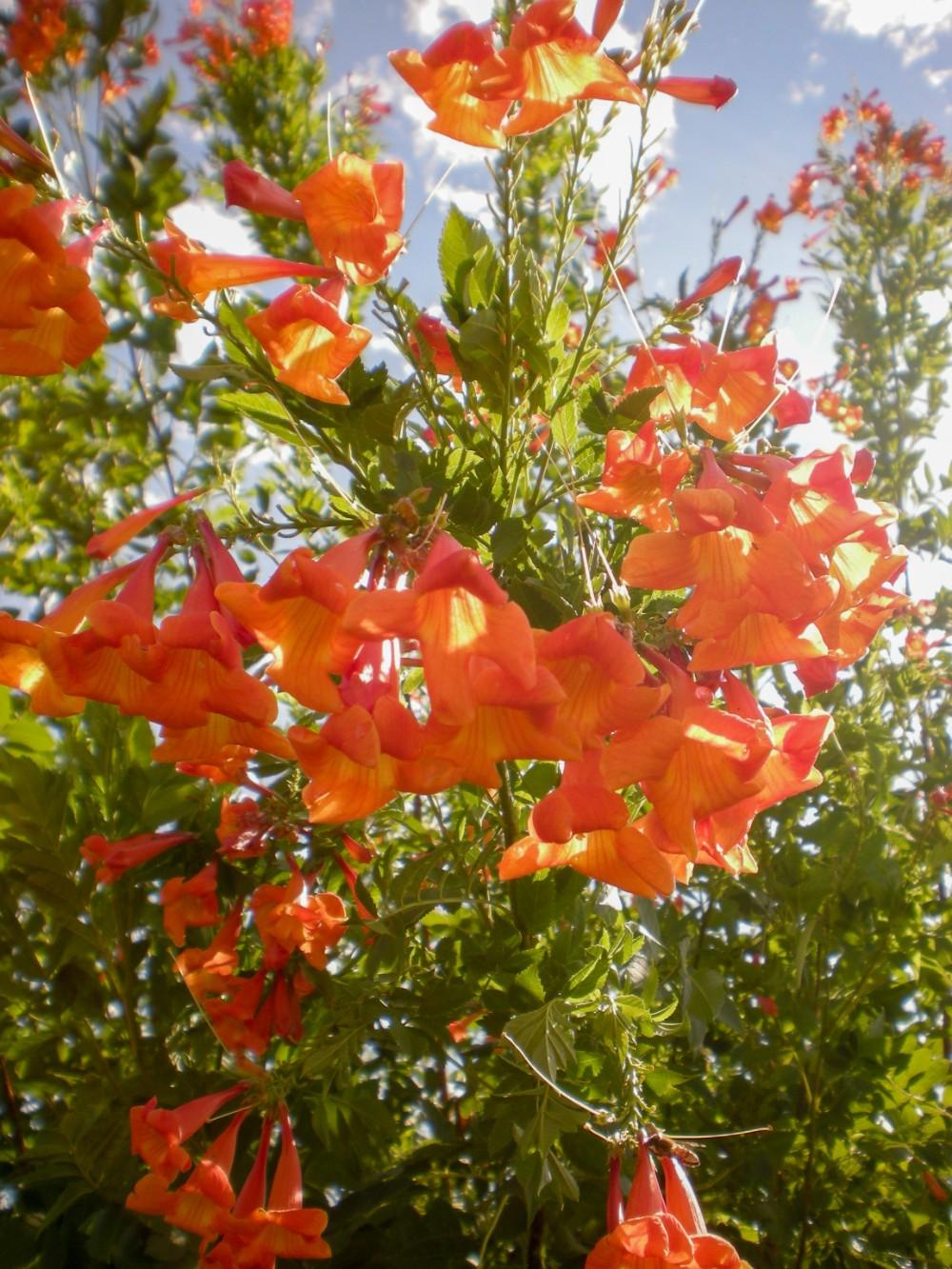 Tecoma x 'Orange Jubilee'