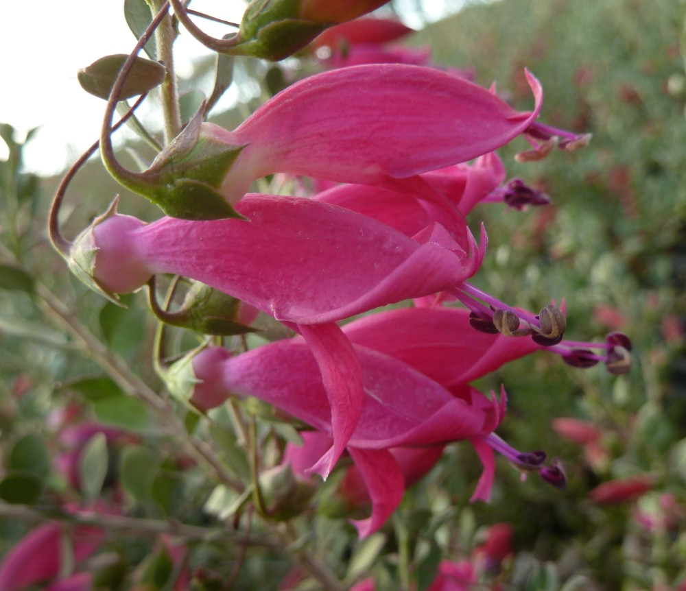Eremophila maculata 'Valentine'