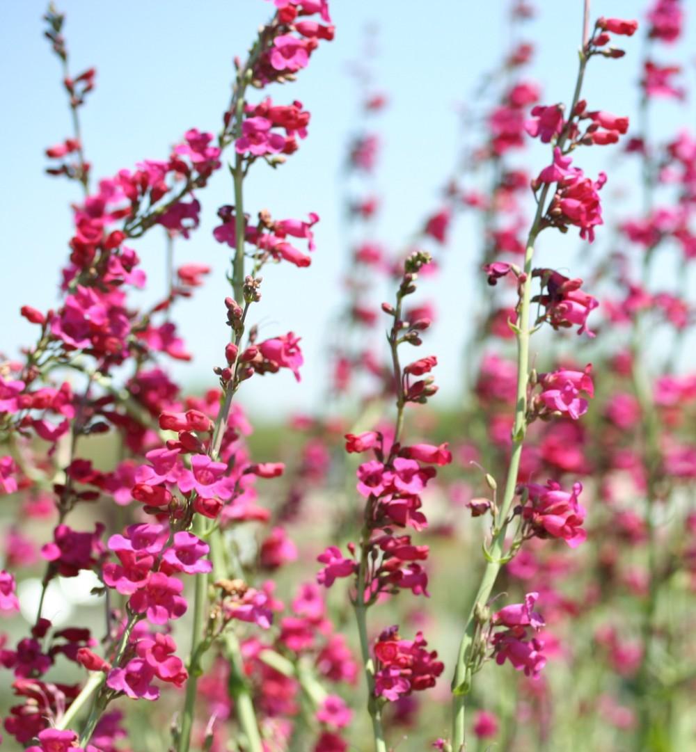 Penstemon x 'Red Headed Beauty' PP22865