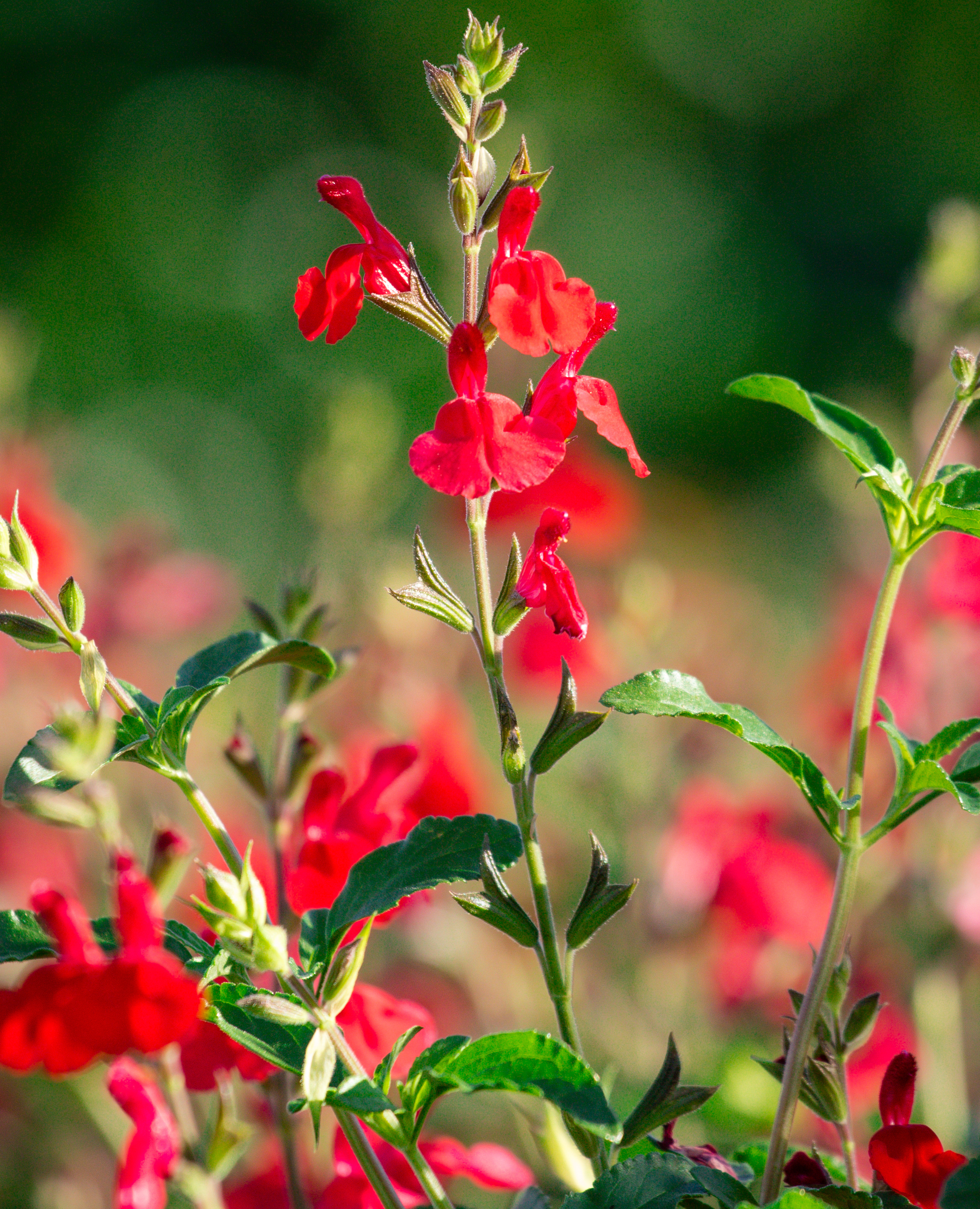 Salvia x greggii 'Red Velvet'
