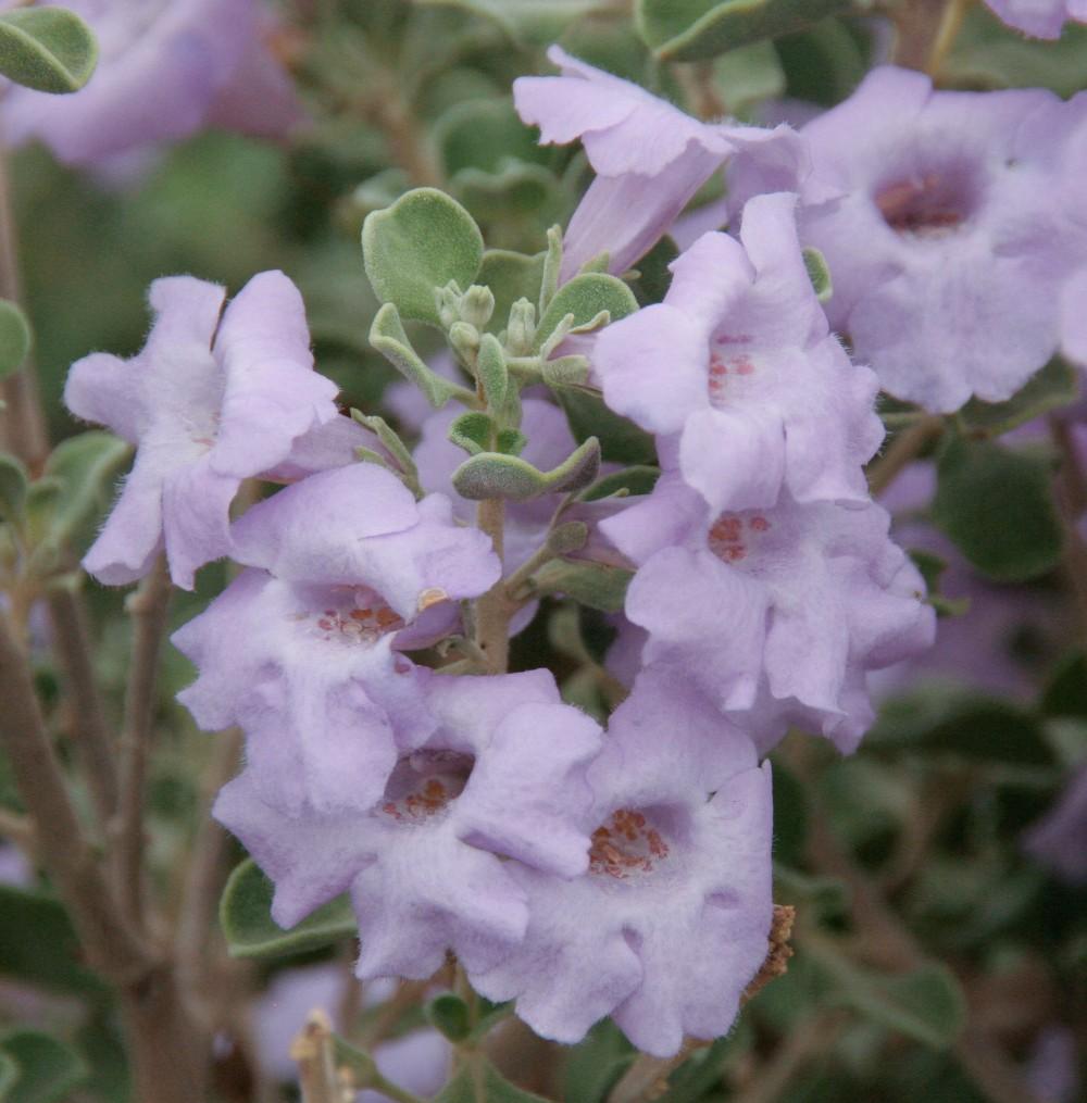 Leucophyllum langmaniae 'Lynn's Legacy'