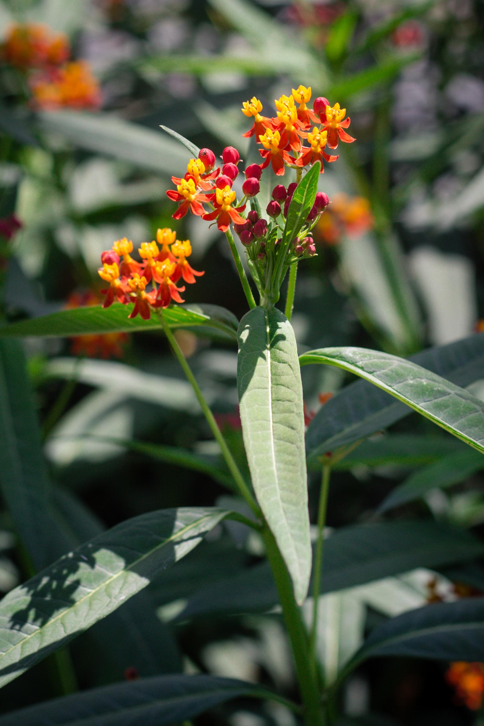 Asclepias curassavica 'Red Butterflies'