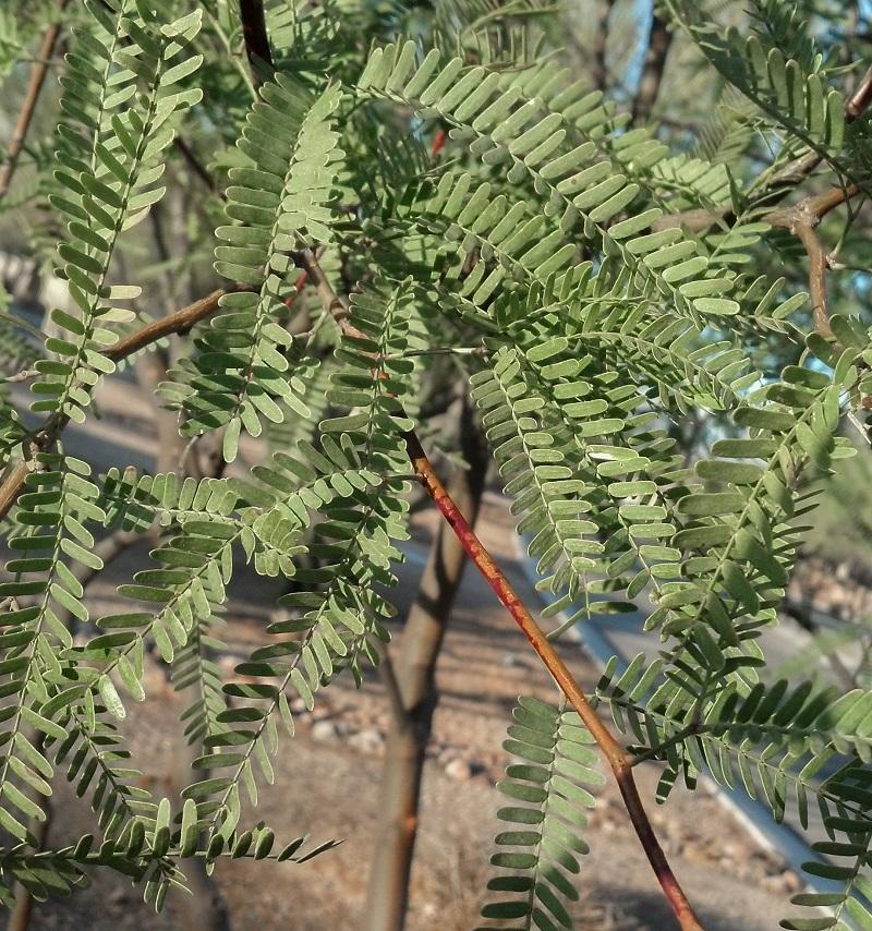 Prosopis hybrid 'Leslie Roy' PP23365