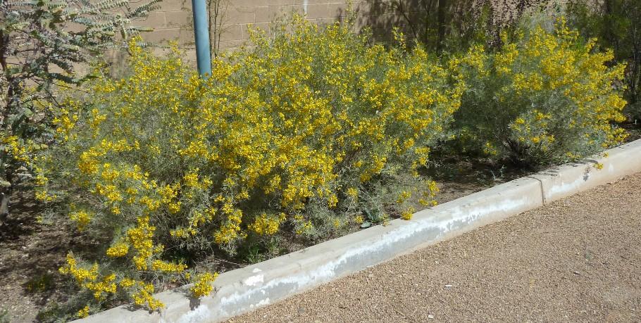Senna artemisioides (Cassia artemisioides)
