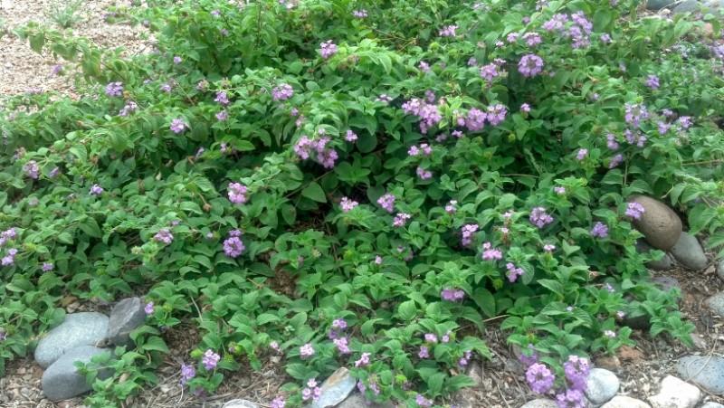 Lantana montevidensis 'Trailing Purple'