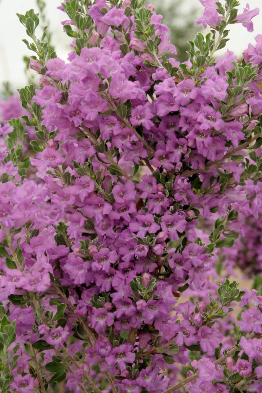 Leucophyllum xlaevigatum'HeavenlyCloud'