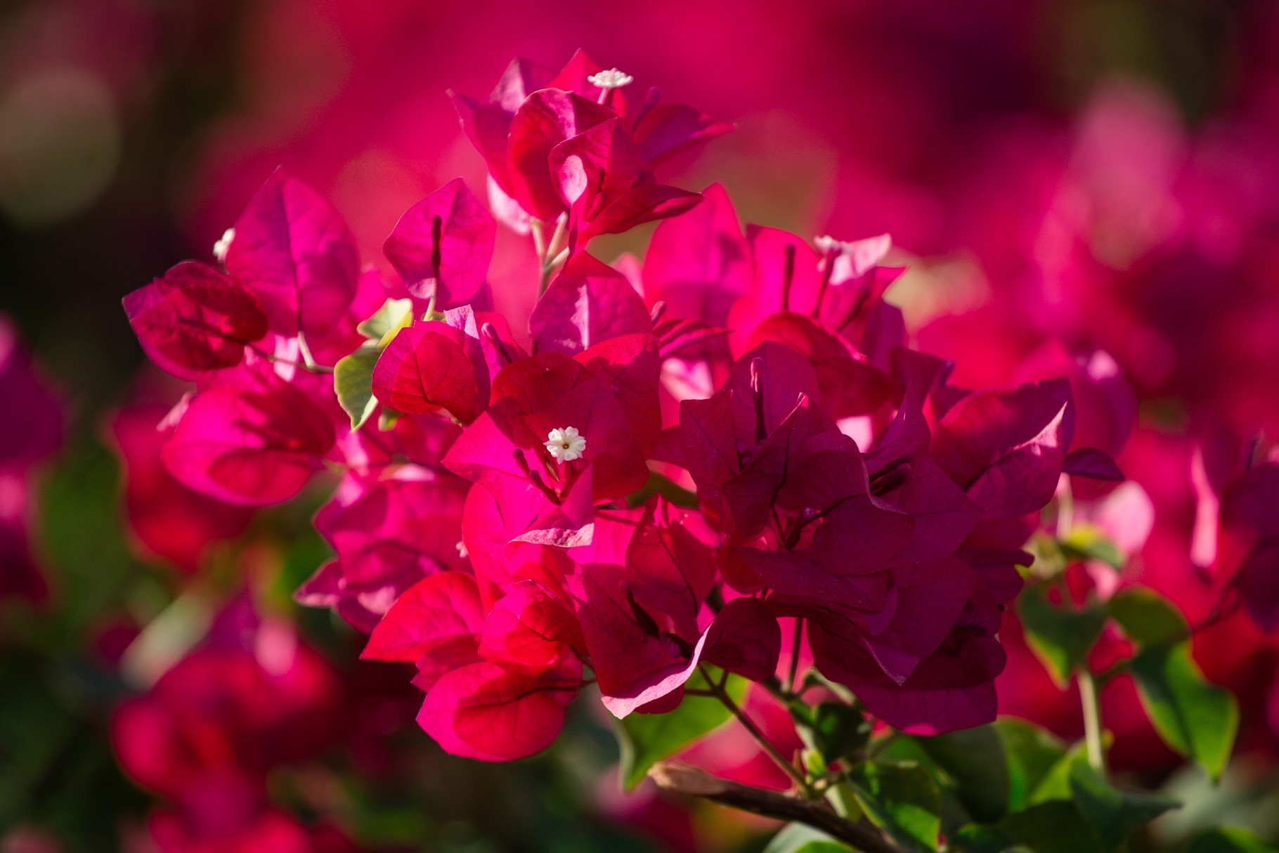 Bougainvillea 'Temple Fire'