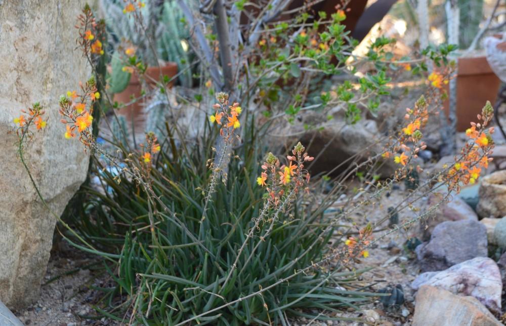 Bulbine frutescens 'Tiny Tangerine'