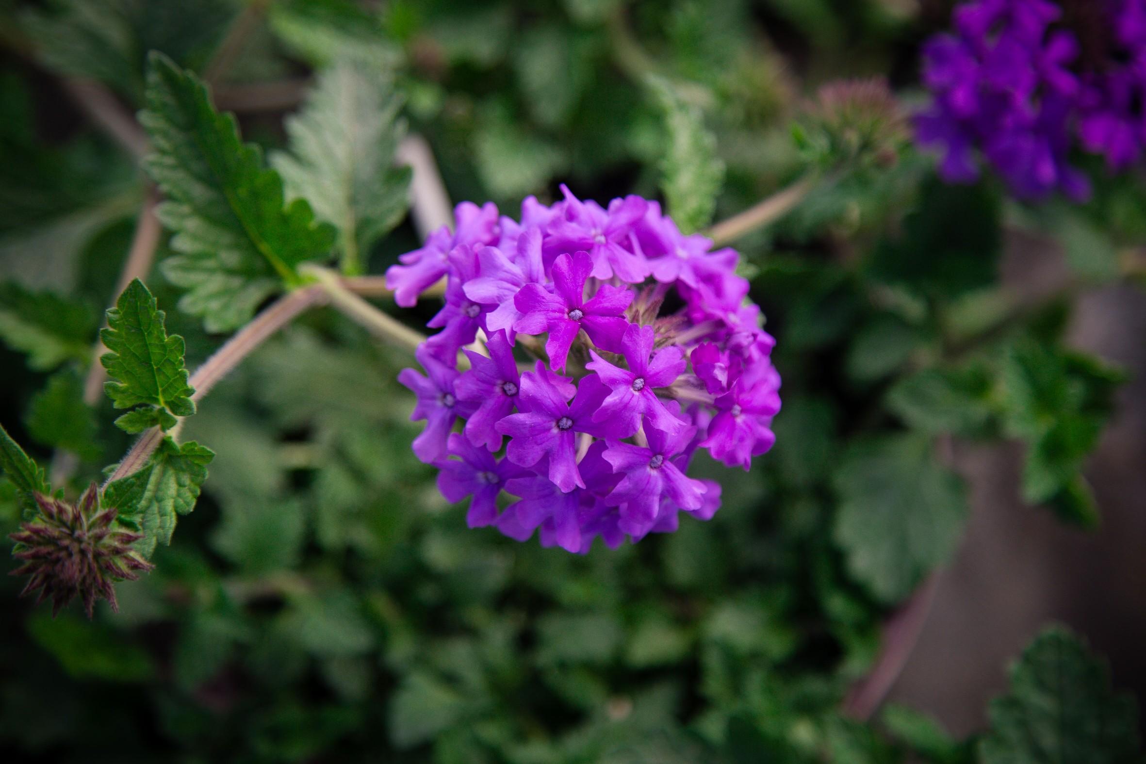 Glandularia canadensis 'Homestead Purple'