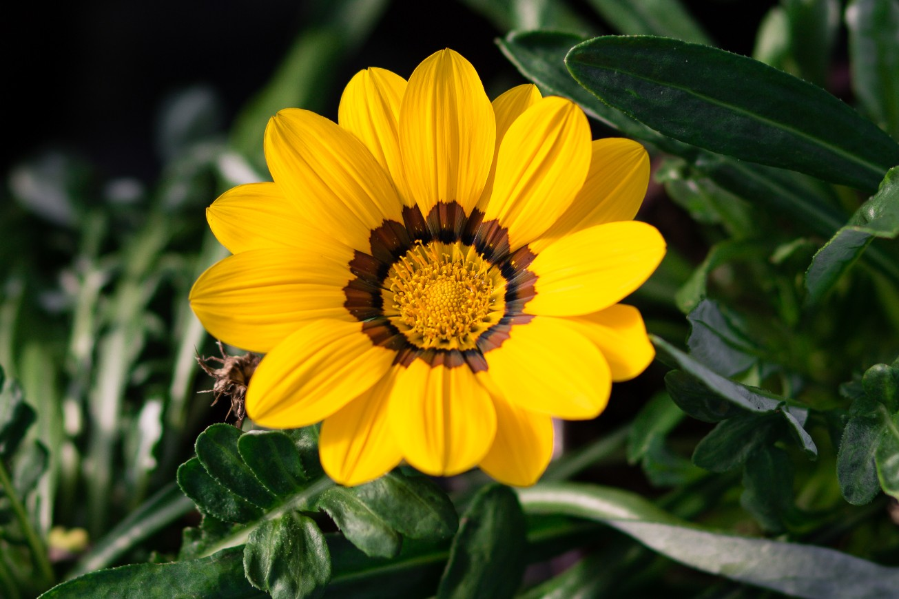 Gazania rigens New Day® Yellow