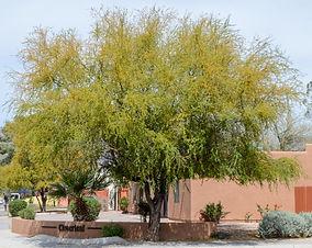 Acacia smallii (Vachellia farnesiana)