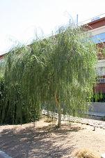 Acacia willardiana (Mariosousa willardiana)
