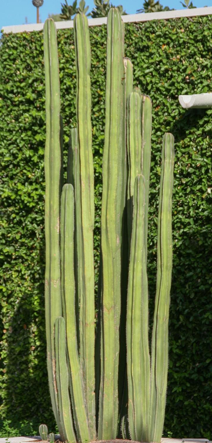 Stenocereus marginatus