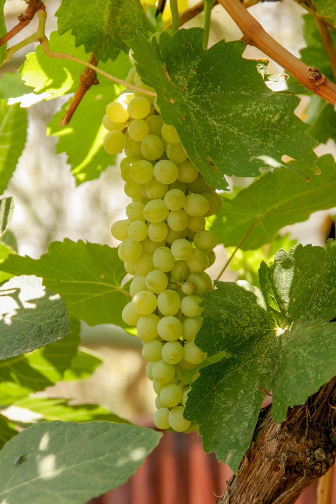 Vitis vinifera 'Thompson Seedless'