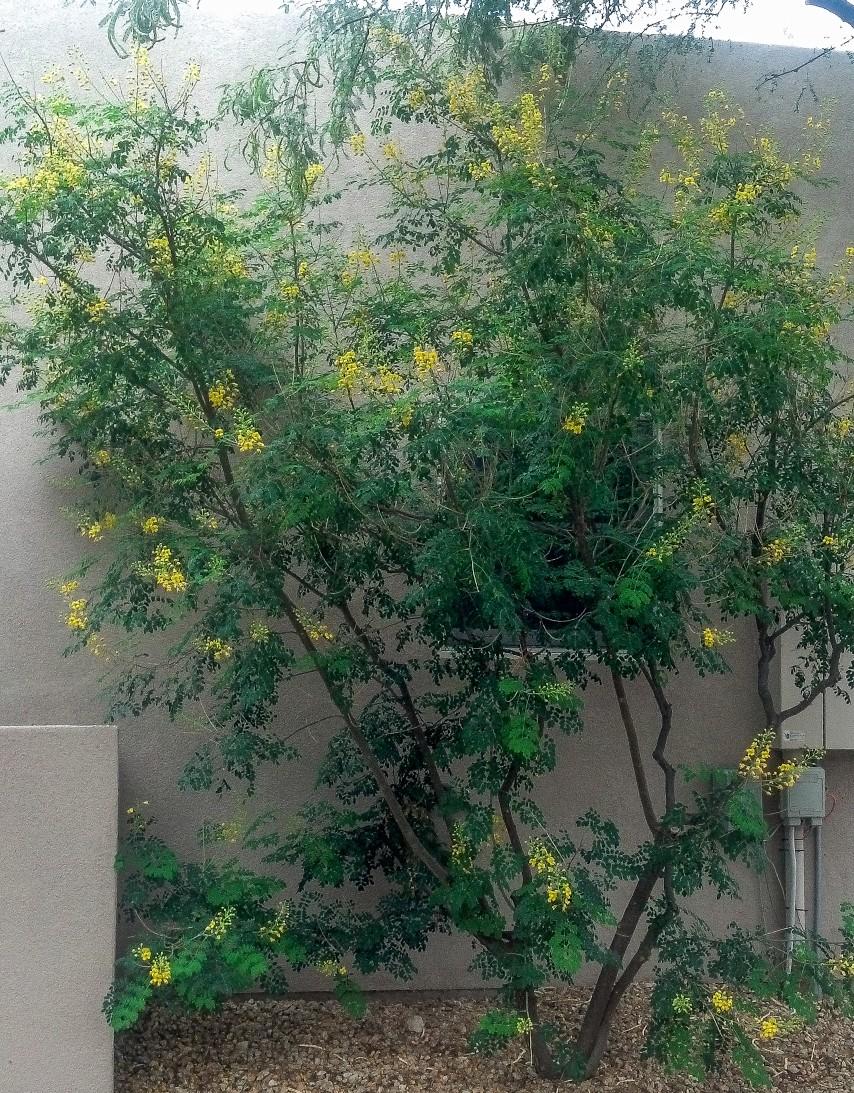 Caesalpinia mexicana