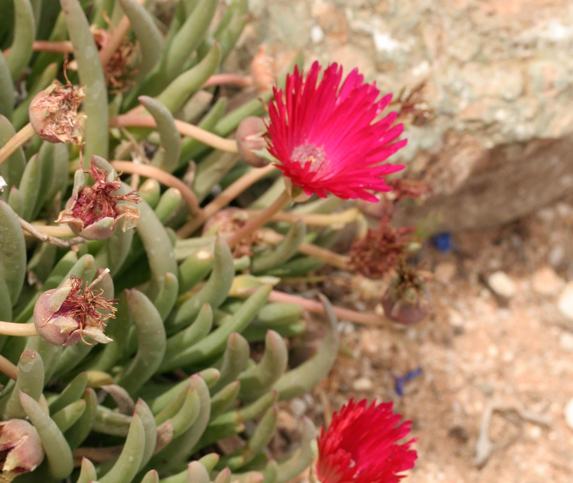 Cephalophyllum alstonii