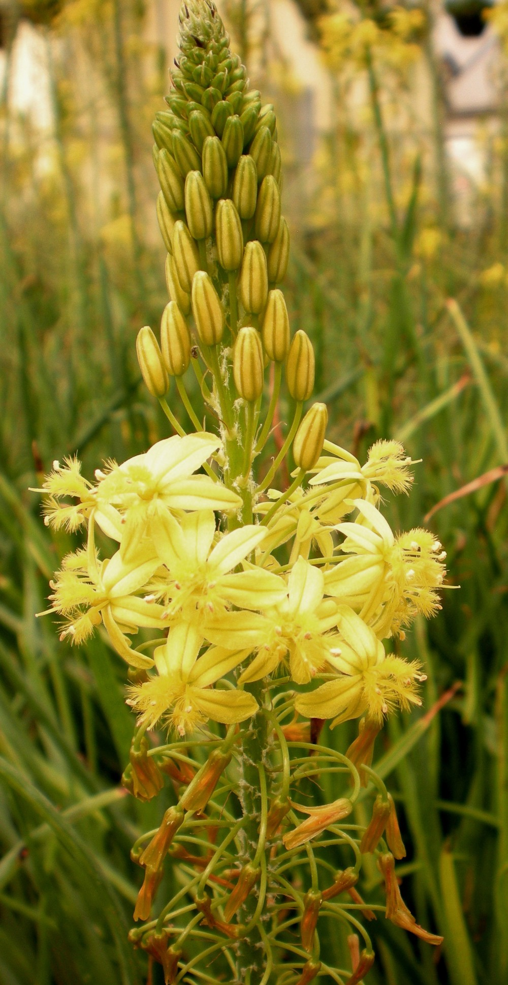 Bulbine frutescens 'Athena Compact Yellow'