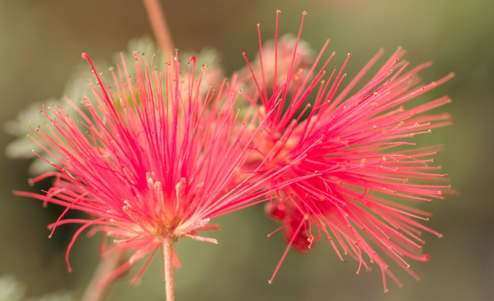 Calliandra californica x eriophylla 'Maricopa Red'
