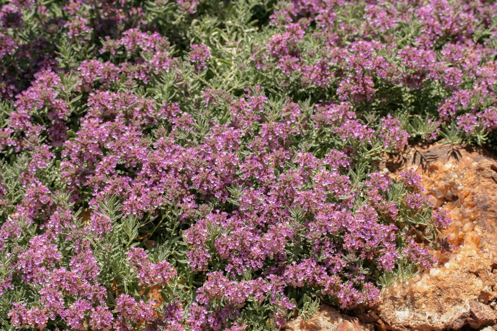 Teucrium majoricum 'Mediterranean Carpet'