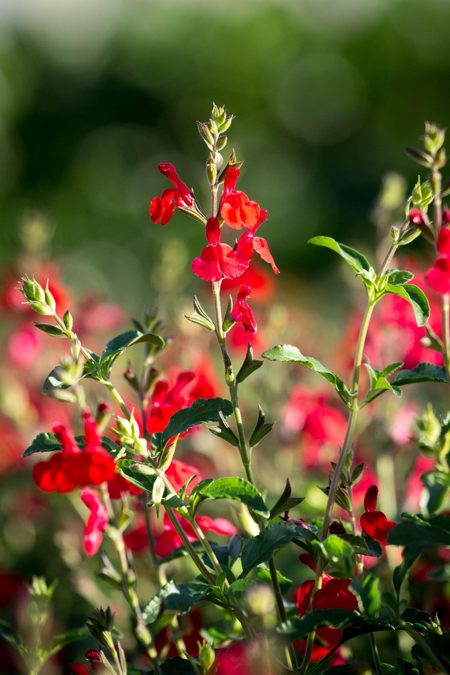 Salvia greggii 'Radio Red' PP26362