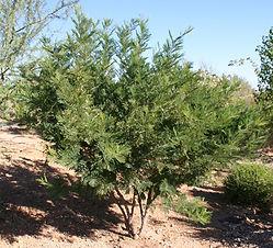 Acacia berlandieri (Senegalia berlandieri)