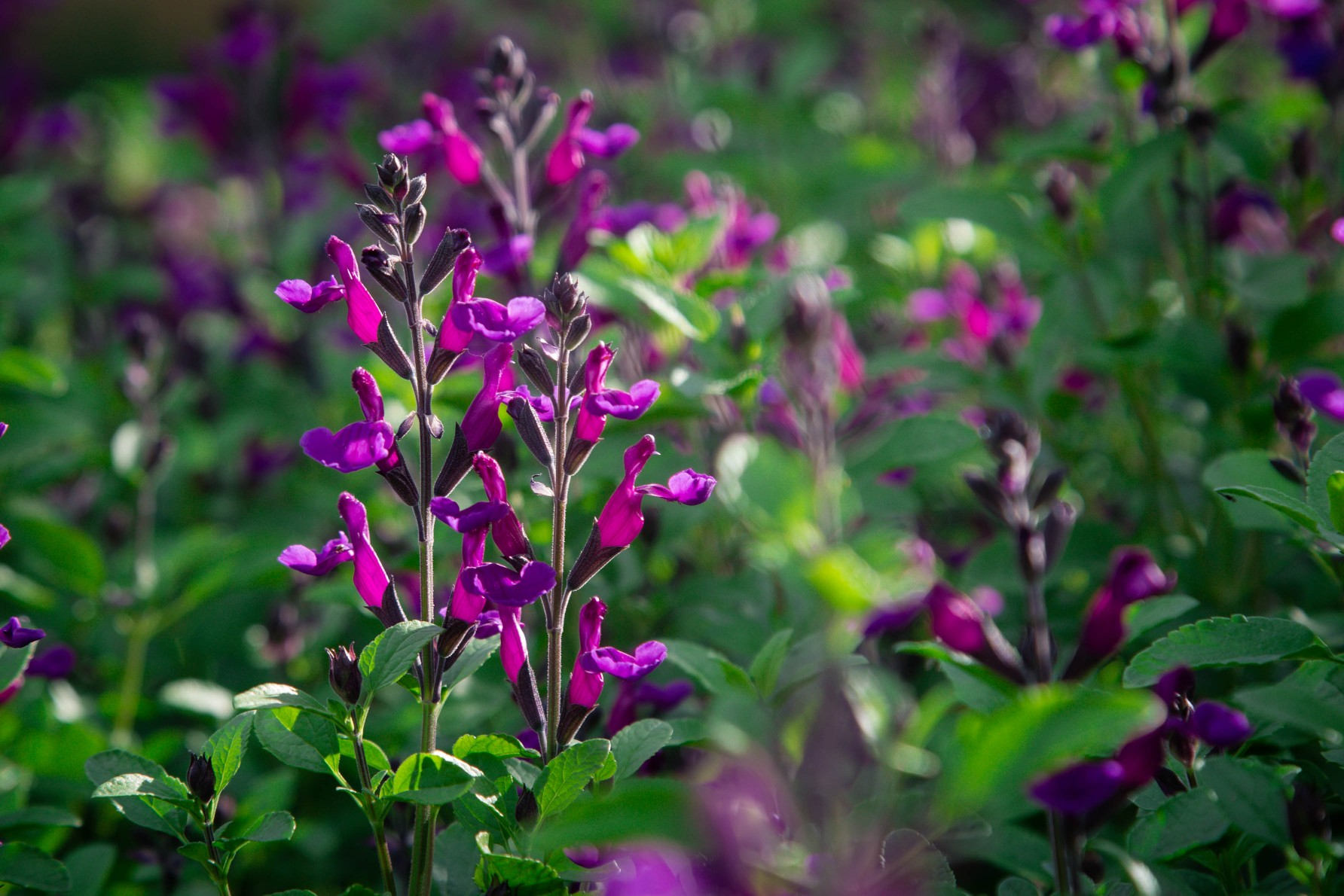 Salvia x jamensis 'Ignition Purple' PP27788