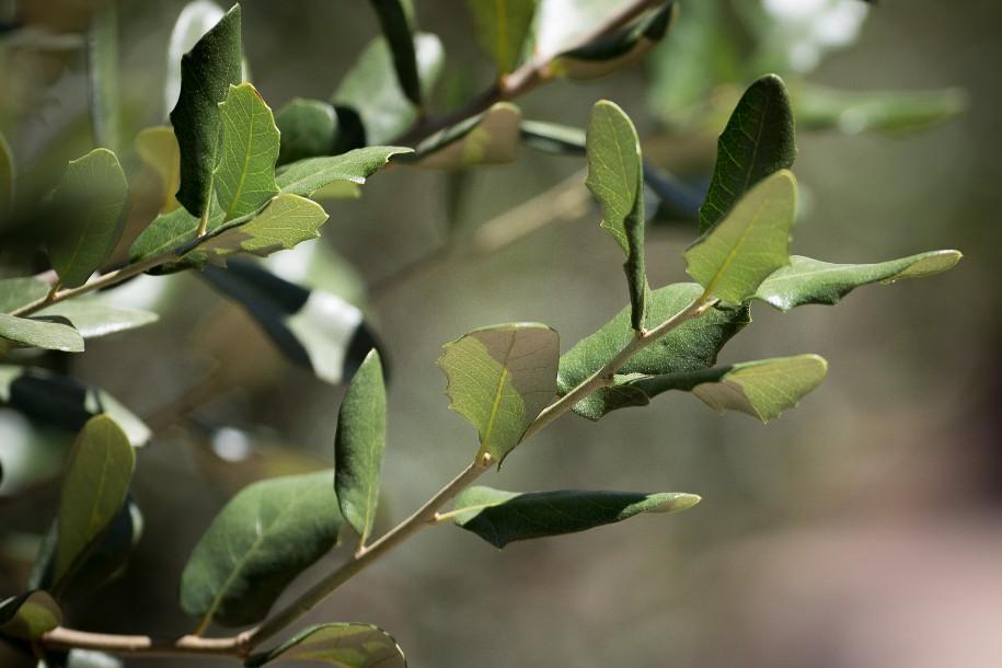 Quercus fusiformis 'Joan Lionetti' PP27646