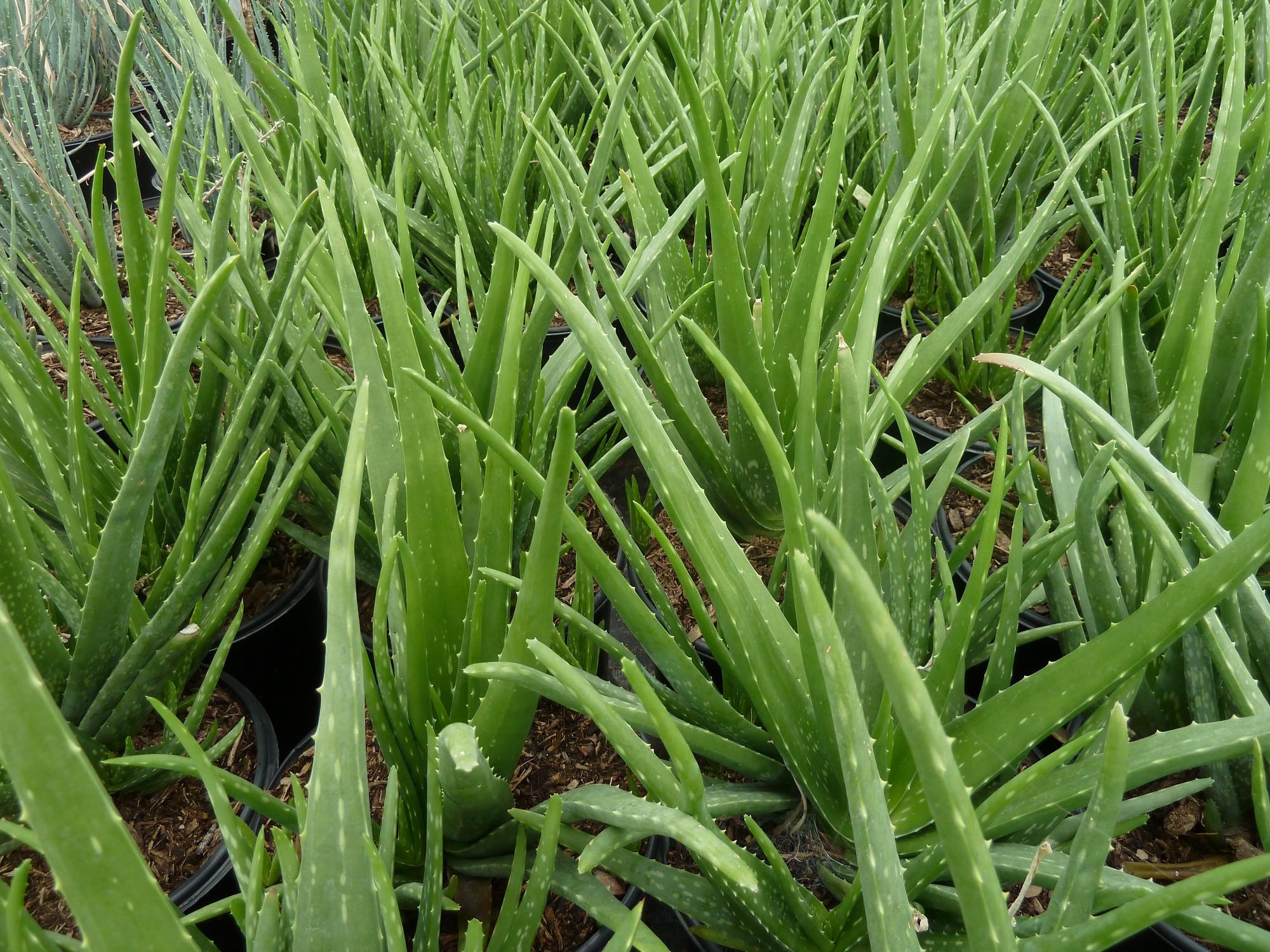 Aloe barbadensis (A. vera)