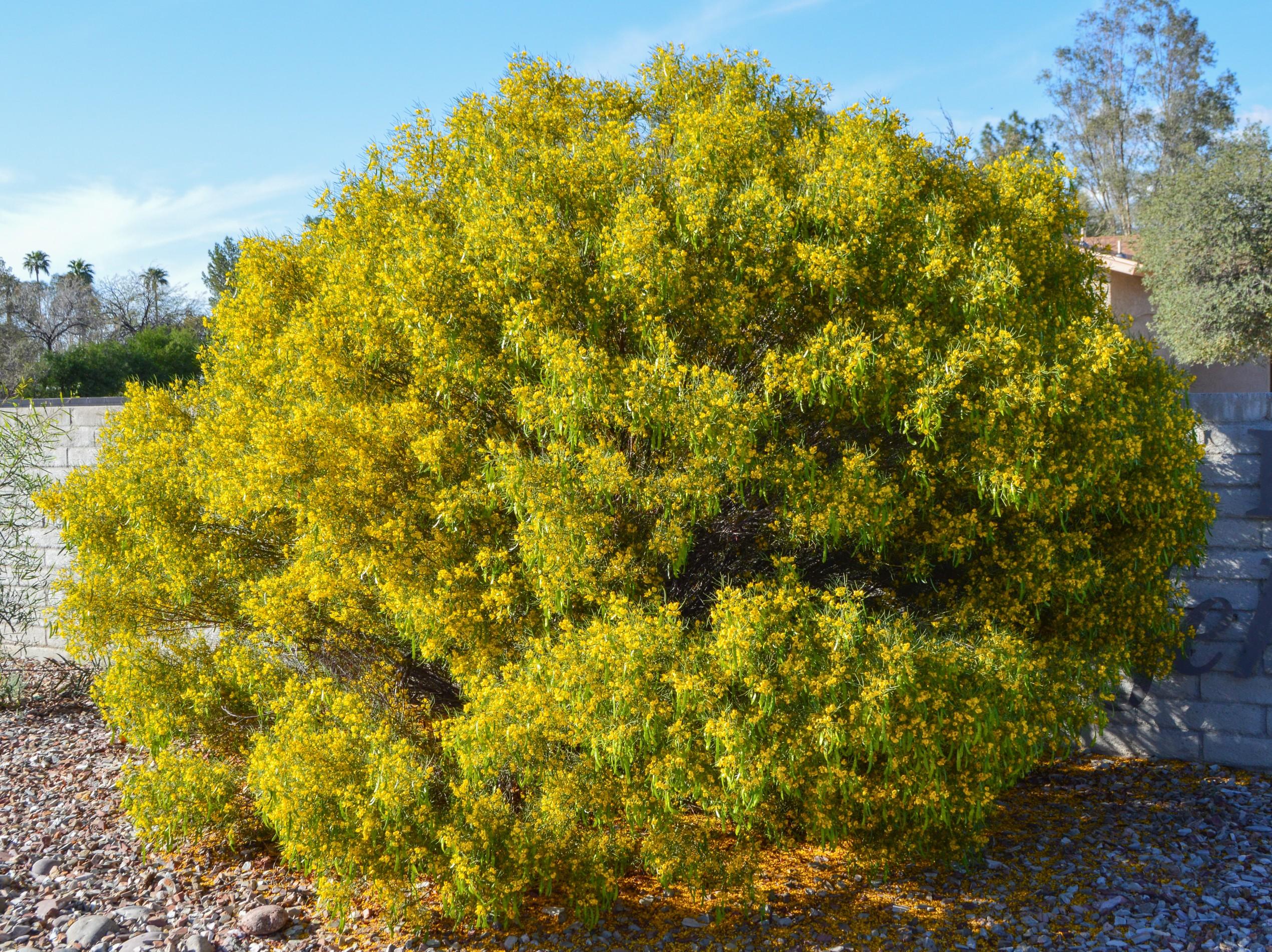 Senna nemophila (Cassia nemophila)