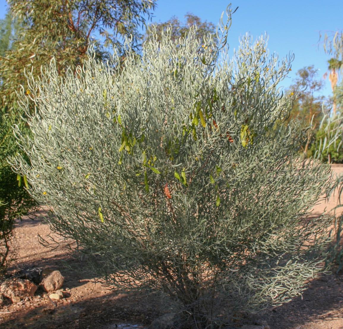 Senna phyllodinea (Cassia phyllodinea)