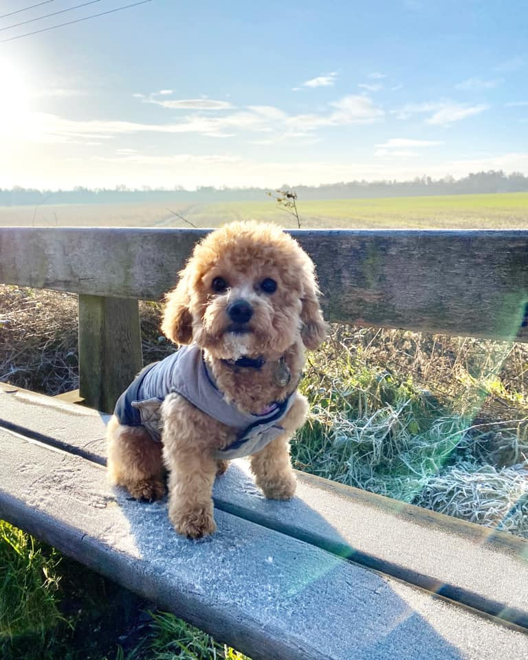 Poodle cross Bichon puppy sat on wooden bench along an old railway track with fields behind her.