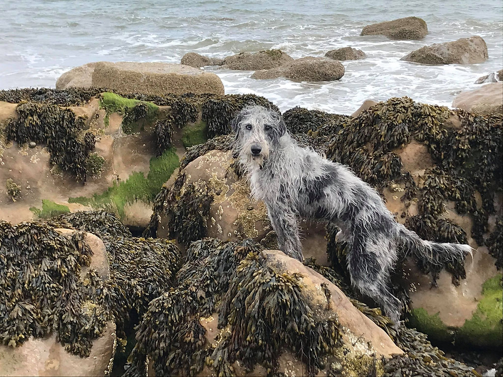 Grey and white Lurcher dog stood on rocks covered in seaweed with sea behind him.