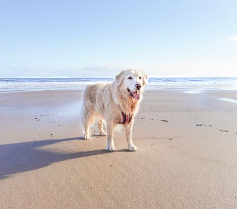 Golden Retriever stood on Mappleton golden sand beach with sea behind him.