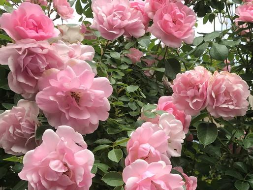Vandaag pluk ik een roos