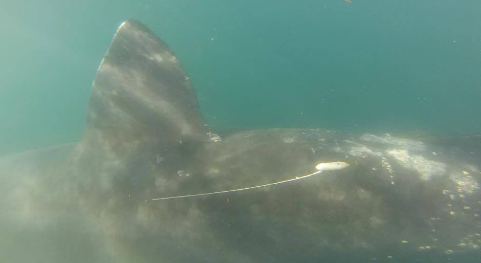 Satellite tagged Basking shark